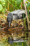 Common Loon on Nest. A female common loon sits on her nest, on a river system in Ontario, Canada stock image