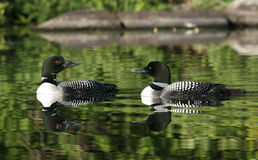 Common Loon Pair Reflecting In Water Stock Image