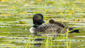 Common Loon Parent with Baby Chick Riding On Back Stock Photos