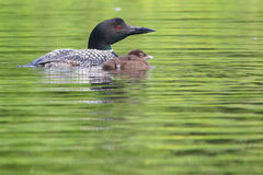Common Loon Parent and Baby Chick Royalty Free Stock Photo