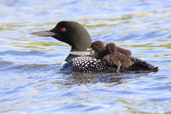 Common Loon Parent and Baby Chicks Royalty Free Stock Photography
