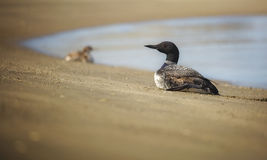 Common Loon. A common loon rests on land in Moss Landing, California stock photography