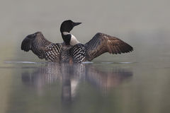 Common Loon Rising out of Water Royalty Free Stock Photos