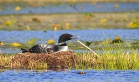Common Loon Sits on Nest Royalty Free Stock Photos