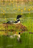 Common Loon Sits on Nest Stock Image