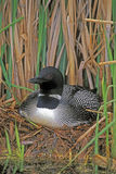 Common Loon sitting on nest royalty free stock photos