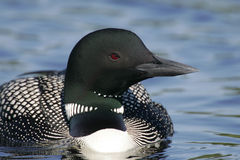 Common Loon Sleeping on a Foggy Morning Royalty Free Stock Image