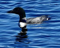 A Common Loon #2. This is a summer picture of a Common Loon on a pond in the Seney National Wildlife Refuge located in Seney, Michigan in Schoolcraft County royalty free stock image