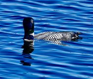 A Common Loon #3. This is a summer picture of a Common Loon on a pond in the Seney National Wildlife Refuge located in Seney, Michigan in Schoolcraft County stock photography