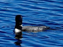 A Common Loon #4. This is a summer picture of a Common Loon on a pond in the Seney National Wildlife Refuge located in Seney, Michigan in Schoolcraft County royalty free stock photography