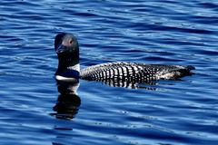 A Common Loon #5. This is a summer picture of a Common Loon on a pond in the Seney National Wildlife Refuge located in Seney, Michigan in Schoolcraft County royalty free stock photos
