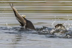 Common Loon swallowing a huge White Sucker in late summer - Ontario, Canada. Common Loon Gavia immer swallowing a huge White Sucker in late summer - Haliburton stock image