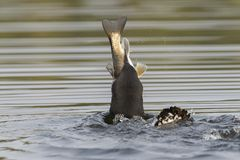 Common Loon swallowing a huge White Sucker in late summer - Onta. Common Loon Gavia immer swallowing a huge White Sucker in late summer - Haliburton, Ontario Stock Photo