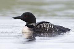 Common Loon Swimming on a Lake in Summer royalty free stock photography