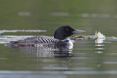 Common Loon Swimming Next to a Lily Pad Royalty Free Stock Image