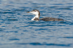 Common Loon Royalty Free Stock Image