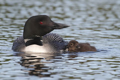 Common Loon Swimming with Young Chick at its Side. Common Loon (Gavia immer) Swimming with Young Chick at its Side - Haliburton, Ontario Royalty Free Stock Photography