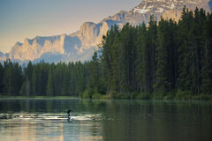 Common Loon. A common loon swims in a small lake in Banff National Park, Alberta stock images
