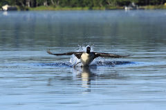 Common Loon Taking Off. A Common Loon (Gavia immer) flaps it's wings and runs across the surface of a placid lake in Northern Wisconsin Stock Image