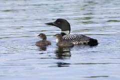 Common Loon with Two Chicks. Single adult common loon with two chicks all looking left with aquamarine lake water as background Royalty Free Stock Photography