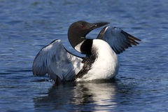 Common Loon VIII (Gavia immer) Stock Image