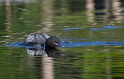 Common loon warning Stock Photography