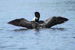 Common Loon Wing Stretch. A common loon stretches and dries its wings royalty free stock images