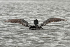 Common Loon Wing Stretch Royalty Free Stock Photo