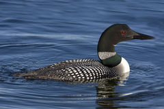 Common Loon XII (Gavia immer) Stock Photos