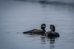 Common Loons. Loons on an Alaskan lake Stock Photography