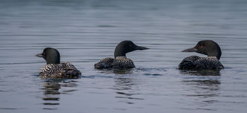 Common Loons Royalty Free Stock Photography