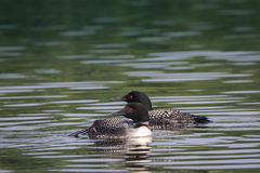 Common Loons. Loons on an Alaskan lake Royalty Free Stock Photo