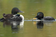 Common Loons - Family Breakfast Time Royalty Free Stock Photos