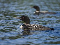 Common loons swim on a lake Stock Image