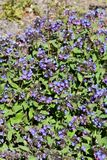 Common lungwort Pulmonaria officinalis pink and blue flowers Stock Photography