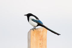 Common Magpie Stock Photography