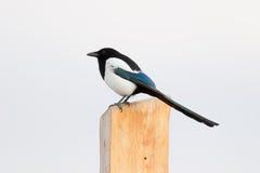 Common Magpie Stock Photography