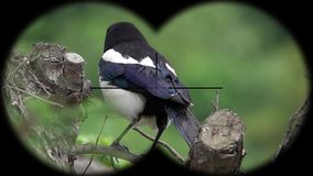Common Magpie Bird Pica pica Seen through Binoculars. Seen through Binoculars. Bird Watching at Wildlife Safari. Shot with a Sony RX10 IV fps 59,94 FHD stock video