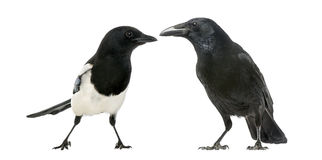 Common Magpie and Carrion Crow facing each other Stock Image