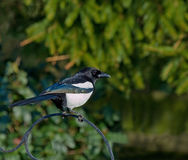 Common Magpie on Feeder Stock Photography