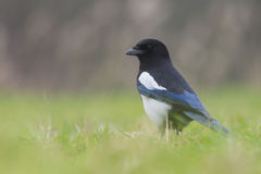 Common Magpie foraging in the grass Royalty Free Stock Photography