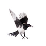Common Magpie isolated on white Stock Photography