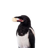 Common Magpie isolated on white Stock Photo