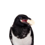 Common Magpie isolated on white Stock Photos