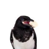 Common Magpie isolated on white Stock Photos