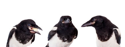 Common Magpie isolated on white Stock Image