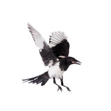 Common Magpie isolated on white Stock Images