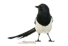 Common Magpie with jewellery, Pica pica, isolated Royalty Free Stock Photo