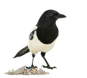 Common Magpie looking away with jewellery, Pica pica, isolated Royalty Free Stock Images
