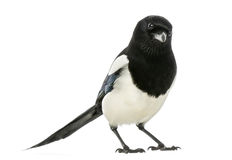 Common Magpie looking at the camera, Pica pica, isolated Royalty Free Stock Photos